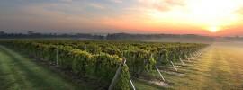 Oliver vineyard